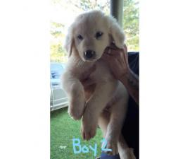 Full-blooded Great Pyrenees 4 males, 3 females available