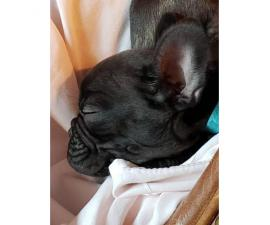 8 weeks old French Bulldog Puppies for Sale