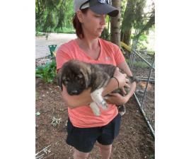5 Anatolian Shepard puppies for sale