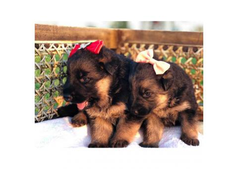 Adorable German Shepherds for sale