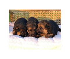 Adorable German Shepherds for sale