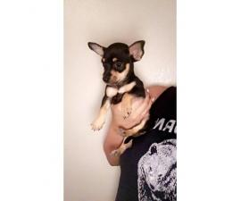 Male Deer Head Chihuahua Pup for Sale