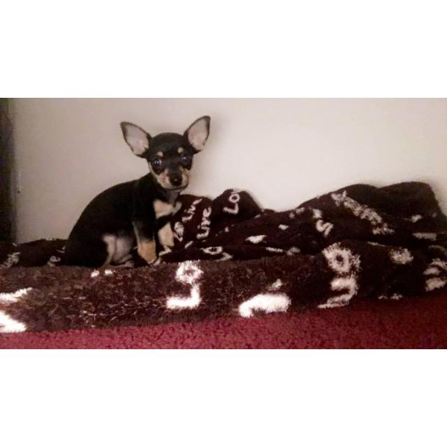 For Sale By Owner Colorado >> Male Deer Head Chihuahua Pup for Sale in Sierra Vista, Arizona - Puppies for Sale Near Me