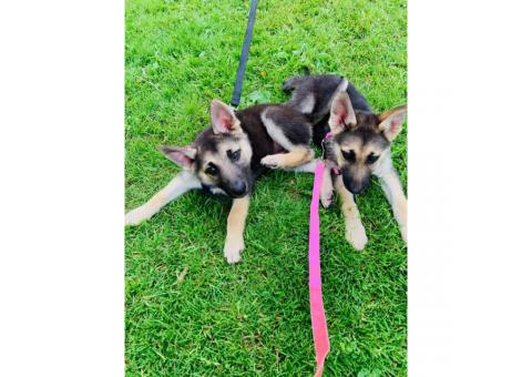 German shepherds one male and 5 girls females