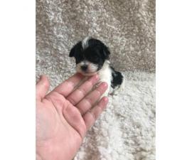 Female Teacup Mini Poodle puppy 2 months old