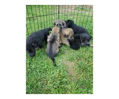 AKC German Shepherd puppies 4 males and 3 females