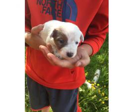 10 Heeler puppies for sale