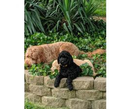 2 golden doodle puppies for sale