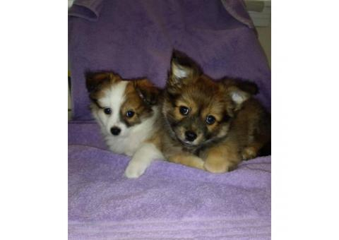 Two male Pomchi puppies 10 weeks old for sale