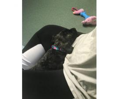 Mastiff Saint Bernard mixed pup for sale