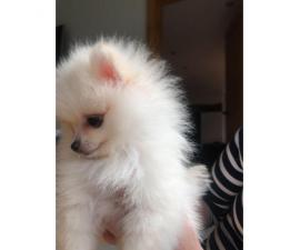 Gorgeous T-cup Pom Puppies! Text (4092101567