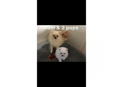 Micro Mini Teacup Pomeranian Puppies For Sale