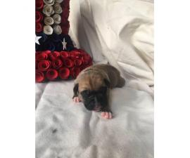 3 males AKC Boxer puppies for sale