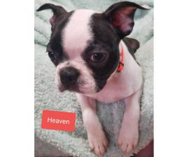 3 lovely AKC Boston Terrier female puppies