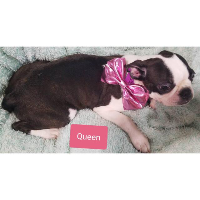 3 Lovely Akc Boston Terrier Female Puppies In Worthington Ohio Puppies For Sale Near Me