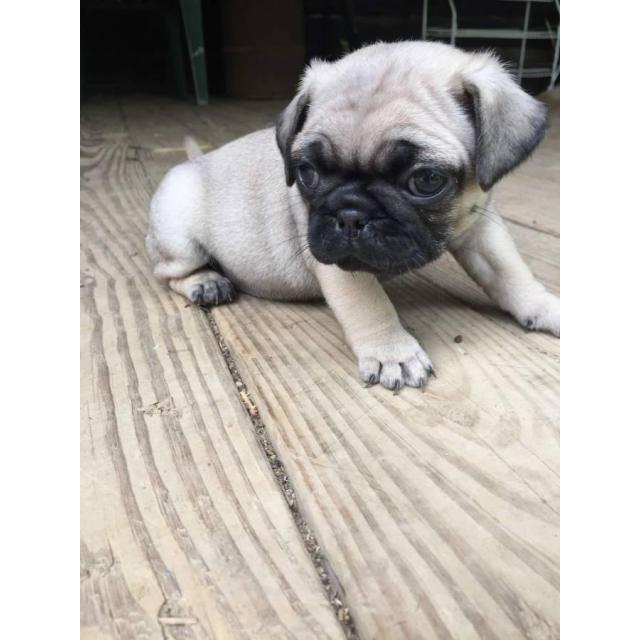 Pug puppies for adoption in New Castle, Delaware - Puppies ...