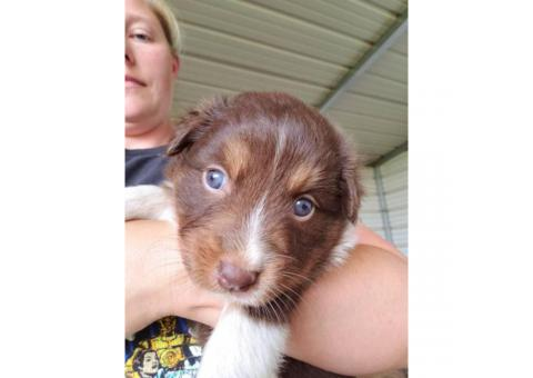 2 Lovely Australian Shepherd Puppies for Sale
