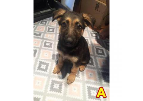 3 Purebred German Shepherd puppies ready for a new loving home