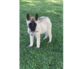 9 week old female akita puppy