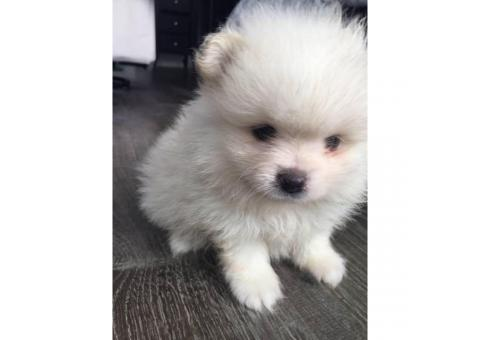 1 baby Boy-white Pomeranian puppies