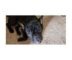 Purebred Black French Bulldog puppy