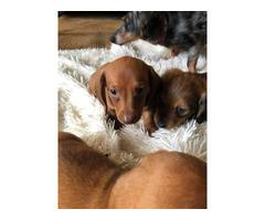 3 CKC reg mini dachshund puppies for sale