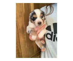 5 Australian Shepherd puppies remaining