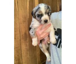 5 Australian Shepherd puppies remaining