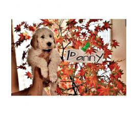 9 weeks old Standard poodle puppies now available