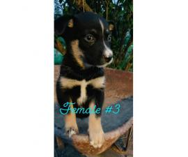 Seven Ausky Puppies for Sale