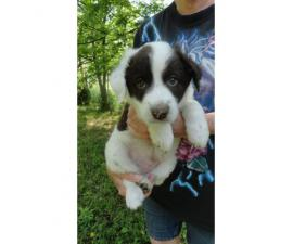 6 aussie cross puppies available