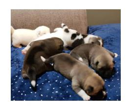 3 boys and 3 girls Akita Puppies