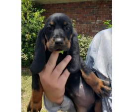 Black and Tan Coonhound Puppies 8 weeks old