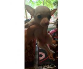 Chihuahua Teacup puppies for Sale