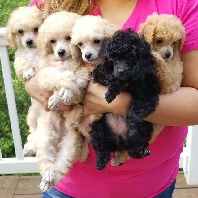 For Sale Tiny Toy Poodle Puppies In Bronx New York Puppies For Sale Near Me