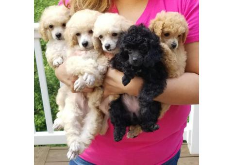 For Sale Tiny toy poodle puppies