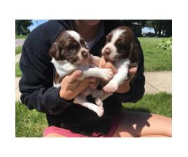 Lovely litter of Brittany pups