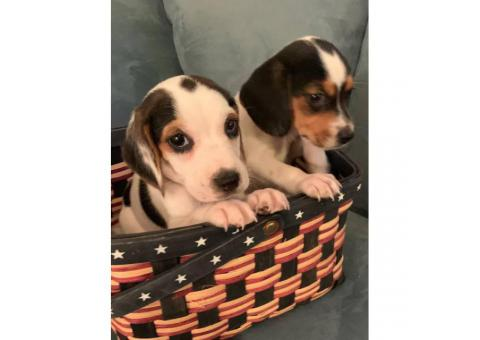Cute mini beagle puppies for sale