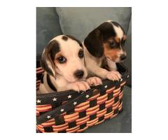 Cute mini beagle puppies for sale