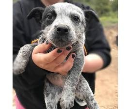 10 weeks old Blue heeler puppies