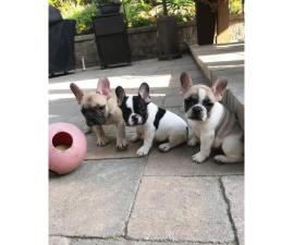 3 gorgeous french bulldog puppies