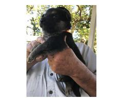 Rehoming 6 full blood German Shepherd puppies