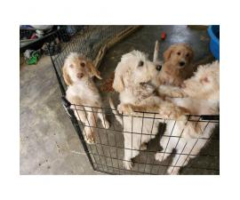 12 weeks old Goldendoodle puppies
