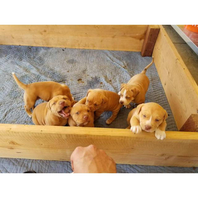 For Sale By Owner Colorado >> 6 Full blood Red Nose Pitbull puppies in Sacramento, California - Puppies for Sale Near Me