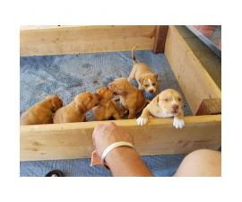 6 Full blood Red Nose Pitbull puppies