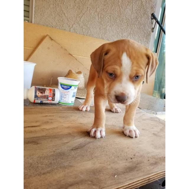 6 Full Blood Red Nose Pitbull Puppies In Sacramento California Puppies For Sale Near Me