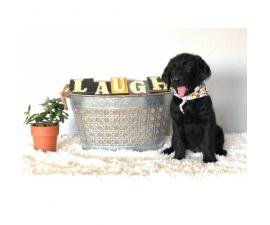 Gorgeous labradoodles for Sale