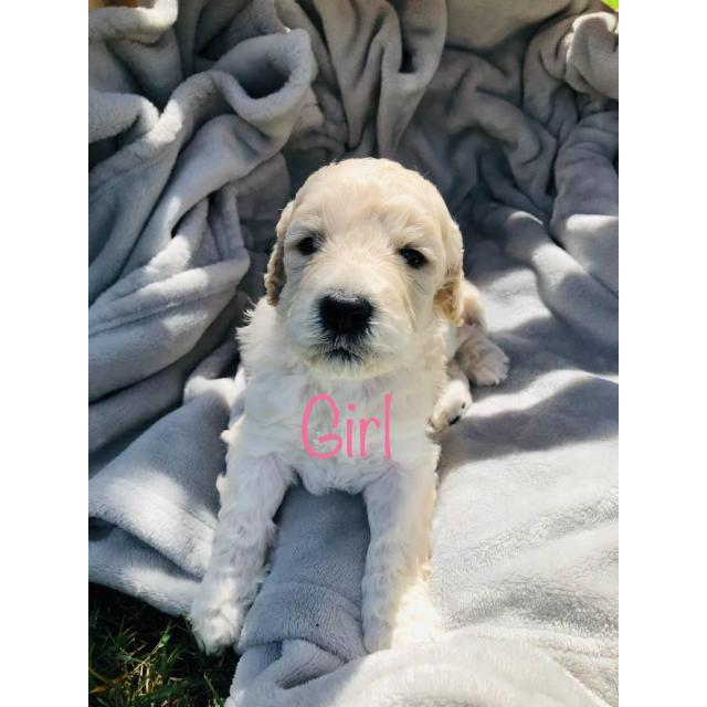 6 Beautiful F1b Giant Schnoodle Puppies In Birmingham Alabama Puppies For Sale Near Me