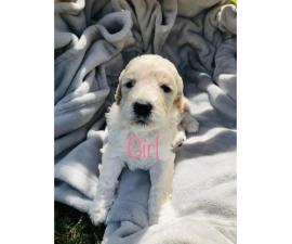 6 Beautiful F1b Giant Schnoodle Puppies