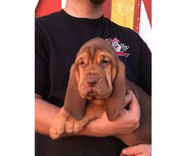 Bloodhound puppies ready to leave